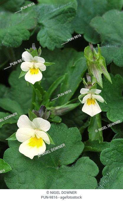 Close-up of a group of field pansies Viola arvensis growing on waste ground at the edge of a field in Dorset