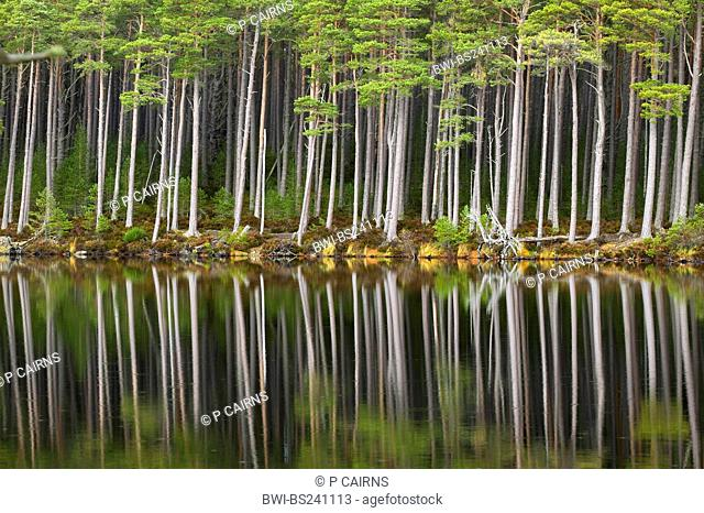 Scotch pine, scots pine Pinus sylvestris, forest standing at the shore of Loch Mallachie, perfectly reflected in the water, United Kingdom, Scotland