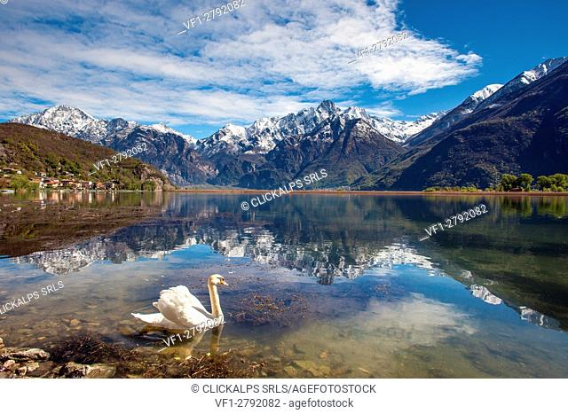 A solitary swan gliding in the Lake in Novate Mezzola whose waters reflect the granitic Sasso Manduino, Valchiavenna, Italy