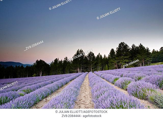 Lavender fields near to Sault in Provence, France