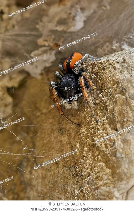 JUMPING SPIDER (Philaeas chrysops) male. Common species of salticid of Mediterranean region Corfu
