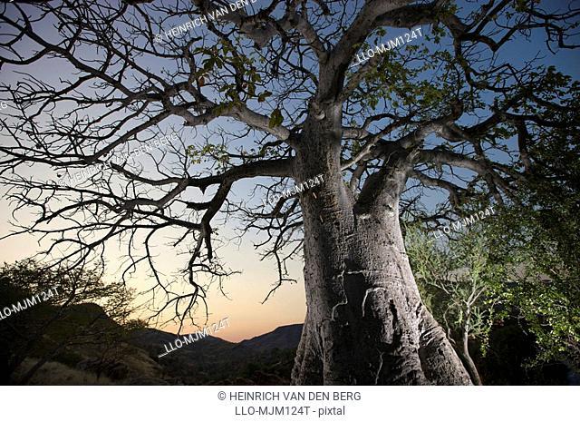 Floodlit Baobab tree next to Epupa Falls, Kunene River, Kaokoland, Namibia