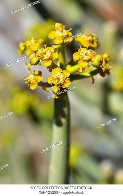 Euphorbia mauretanica, Gifmelkbos, Namaqualand, South Africa