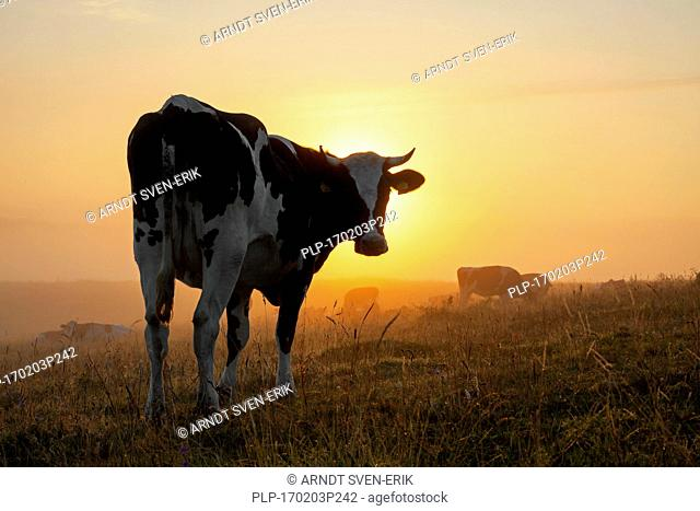 Holstein Friesian cow in field at sunrise, breed of dairy cattle originating from the Dutch provinces of North Holland and Friesland
