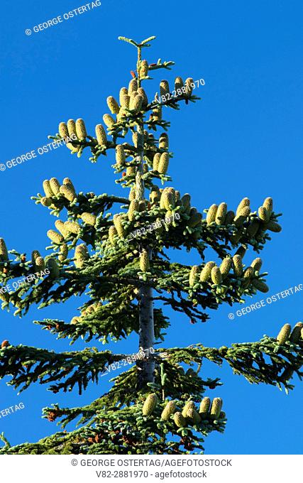 Fir with cones from High Ridge Trail, Table Rock Wilderness, Salem District Bureau of Land Management, Oregon