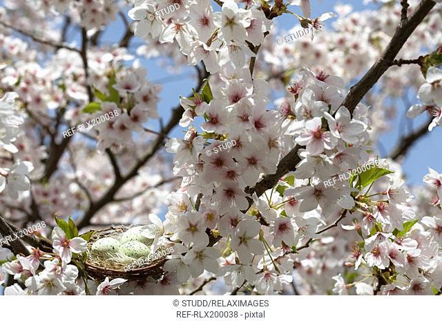 Cherry tree in full blossom with birds nest, Munich, Bavaria, Germany