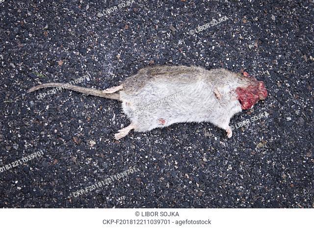 an overruned Brown Rat, Rattus norvegicus, carcass lying on the street, dead animal in Pruhonice, Czech Republic, December 21, 2018
