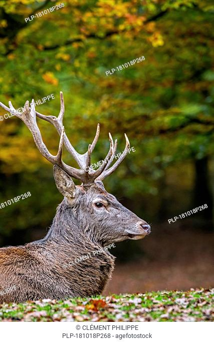 Red deer (Cervus elaphus) stag / male resting in autumn forest in the Ardennes during the hunting season