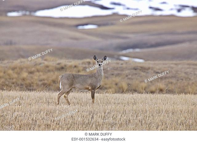 White Tail Deer Saskatchewan Canada