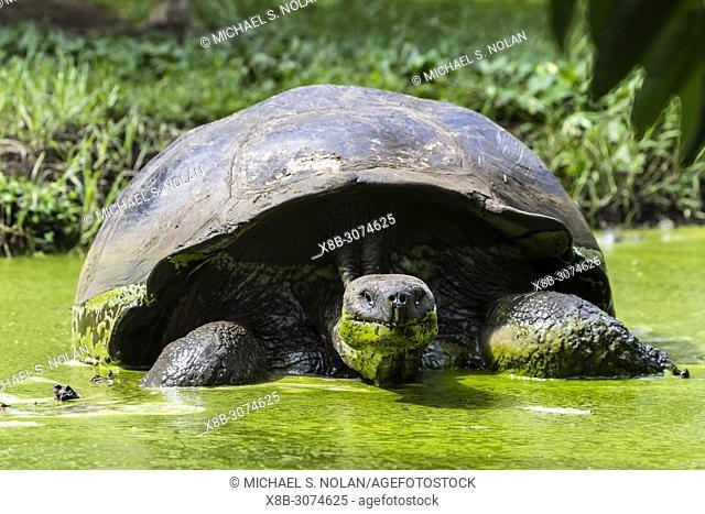 Wild Galápagos giant tortoise, Geochelone elephantopus, in mud pit on Santa Cruz Island, Galápagos
