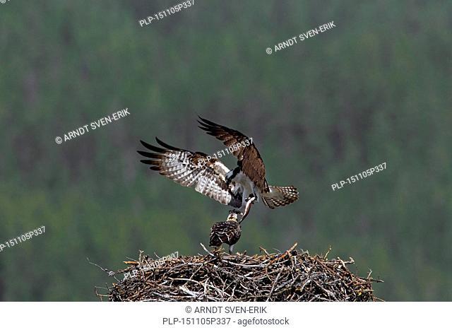 Osprey (Pandion haliaetus) feeding juvenile by bringing fish to nest