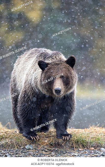 Grizzly bear (Ursus arctos horribilis), cub in early snowfall, Chilcotin Region, British Columbia, Canada