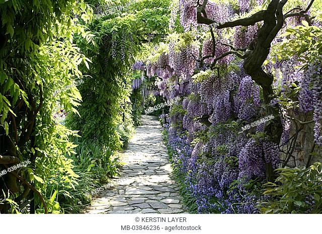 Park, footpath, blue-rain, Wisteria sinensis, prime, park, garden, grounds, way, plants, shrubs, vegetation, butterfly-bloom-plants, Fabaceae, Glyzinie, Glycine