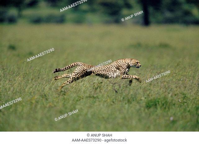 Cheetah running profile (Acinonyx jubatus) Maasai Mara National Reserve, Kenya