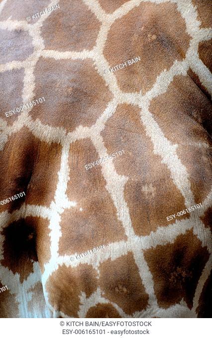 A close up shot of a Giraffe