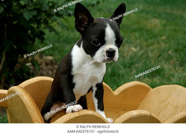 Boston Terrier Scarborough, Ontario, Canada