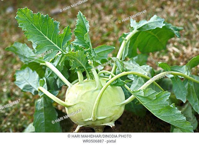 Green vegetable kohlrabies cabbage gongylodes brassica oleracea var turnip growing in field