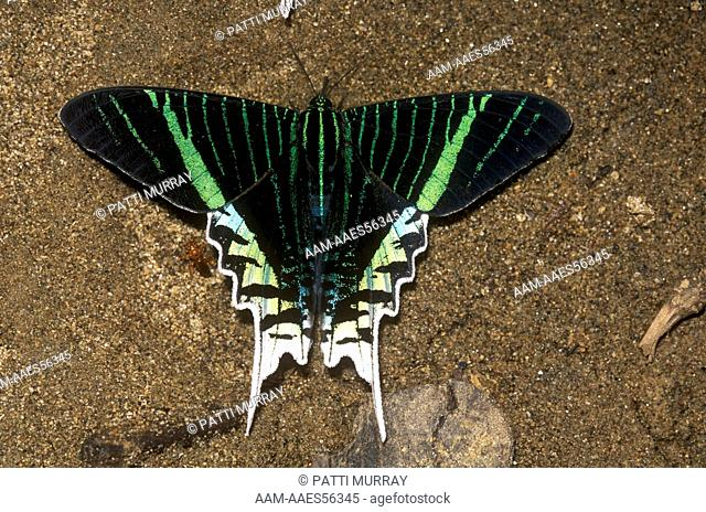 Urania Moth puddling (Urania leilus) Amazon, Ecuador