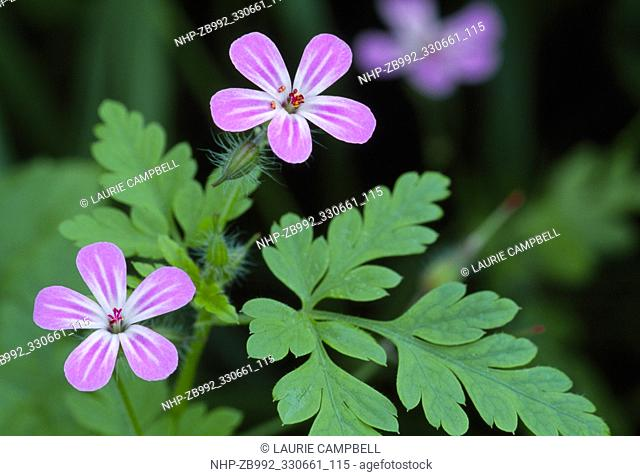 Herb Robert (Geranium robertianum) close-up of flowering plant in deciduous woodland, Inverness-shire, May 1995