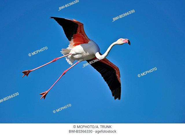 Greater flamingo, American flamingo, Caribbean Flamingo (Phoenicopterus ruber ruber), landing, USA, Florida, Everglades National Park