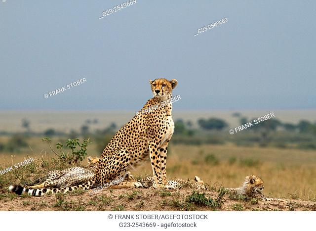 Cheetah cubs family. Maasai Mara National Reserve , Kenya
