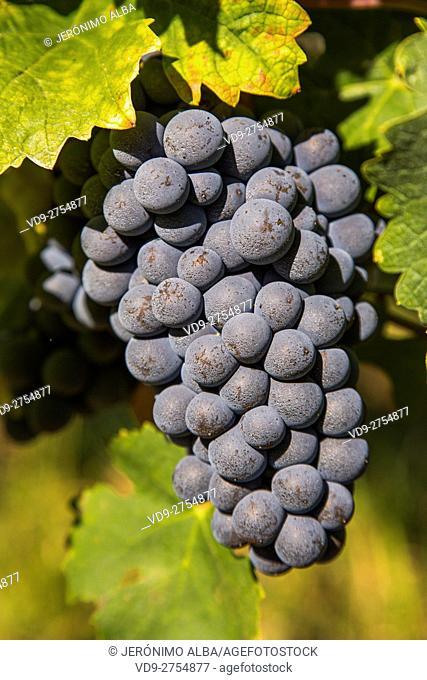Grape, Vineyard. Sauternes Region, Budos, Aquitaine-Limousin-Poitou-Charentes. Bordeaux, Aquitaine France Europe
