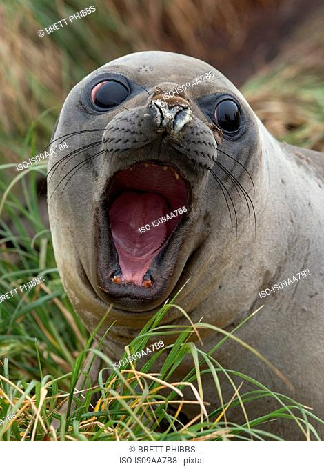 An Elephant Seal pup (weaner) on the beach, north east side of Macquarie Island, Southern Ocean