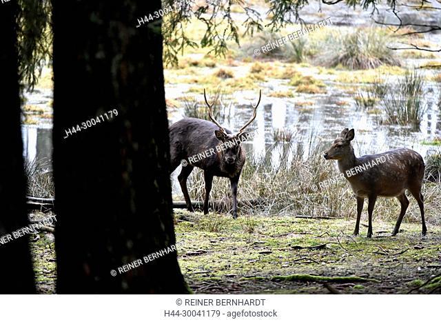 Asian deer, Asian deer, Cervus nippon, deer, deer, Sika, Sikahirsch, Sikahirsche, animals, game, wild animals, winter coat