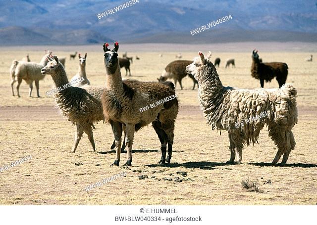 llama Lama glama, herd, Bolivia, Altiplano, Sajama National Park