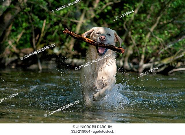 Labrador Retriever. Adult fetching a stick out of a lake. Germany