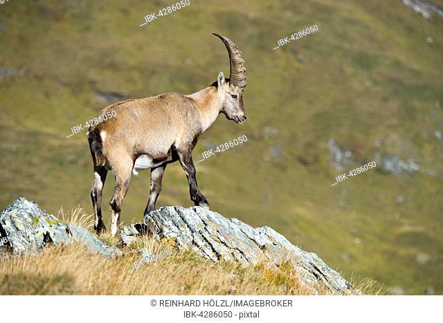 Alpine ibex (Capra ibex), male on rock, Kaiser-Franz-Josefs-Höhe, High Tauern National Park, Carinthia, Austria