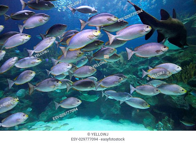 Tropical fish schooling in aquarium, Javanese Rabbitfish