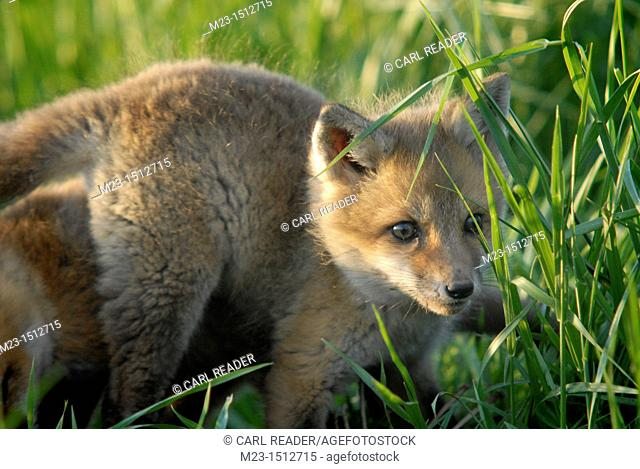 A red fox kit checks out the world in the grass around him, Pennsylvania, USA
