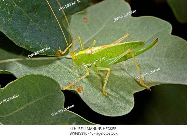 Oak bushcricket, Drumming katydid (Meconema thalassinum, Meconema varium), female sitting on an oak leaf, Germany