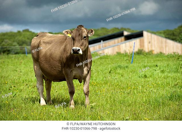 Domestic Cattle, Brown Swiss dairy cow, standing in pasture, Dumfries, Dumfries and Galloway, Scotland, June