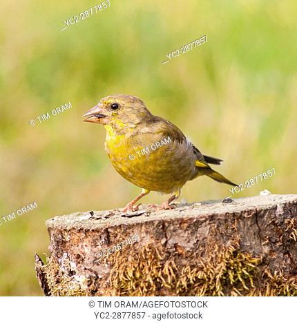 A young Greenfinch (Carduelis chloris) in the Uk