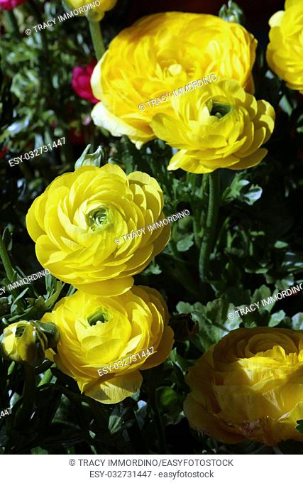 A cluster of yellow Ranunculus flowers in varying stages of bloom
