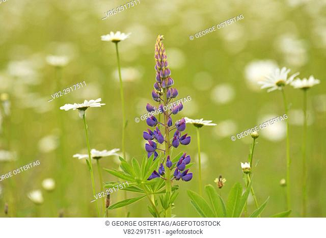 Lupine, Willamette Mission State Park, Oregon