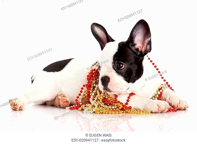 Adorable French Bulldog wearing jewelery on white background. French bulldog puppy portrait over white background