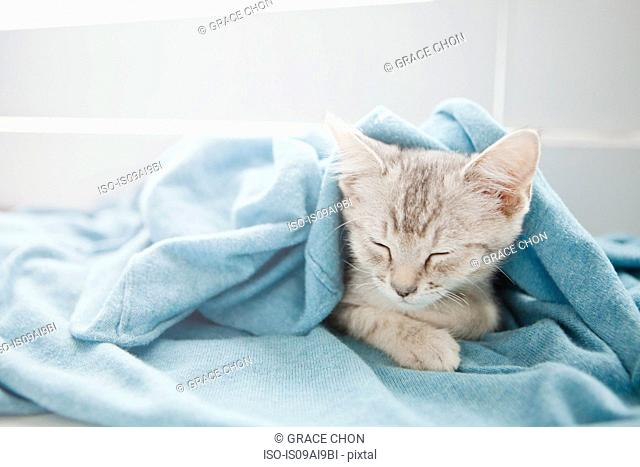 Tabby kitten sleeping under blanket