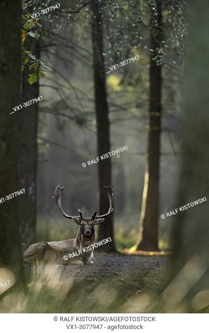 Fallow Deer ( Dama dama ) lies / lying resting on the ground of a light flooded natural mixed forest, Europe
