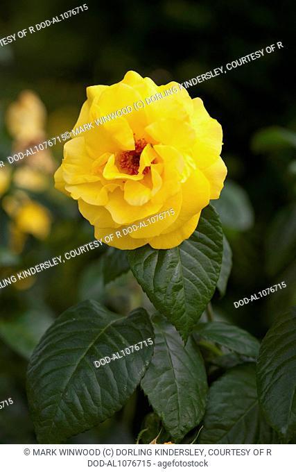 Rosa Golden Wedding ('Arokris')