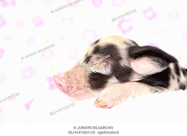 Domestic Pig, Turopolje x ?. Piglet sleeping on a white blanket. Studio picture seen against a white background with flower print. Germany