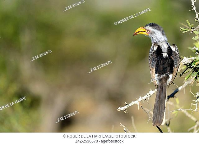 Southern yellow-billed hornbill (Tockus leucomelas). Kruger National Park. Mpumalanga. South Africa