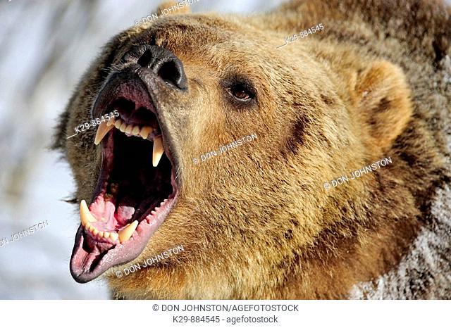 Grizzly bear Ursus arctos - captive snarling