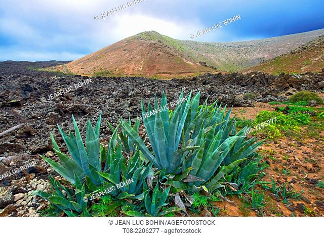 spain,canary islands,lanzarote : agave and montana blanca