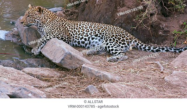 LEOPARD OBSERVING ON ROCK; MAASAI MARA KENYA, AFRICA; 04/09/2016
