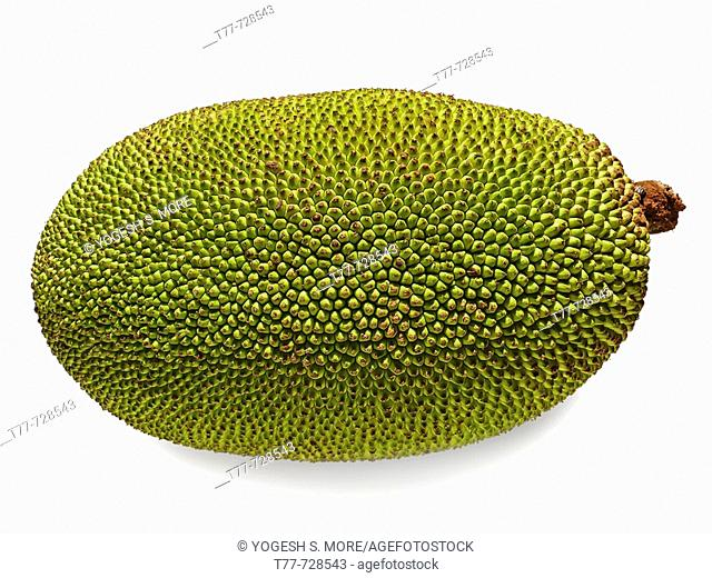 Jackfruit - Artocarpus heterophyllus Lam Moraceae  Jackfruit is the largest tree-borne fruit in the world, reaching 80 pounds in weight and up to 36 inches long...