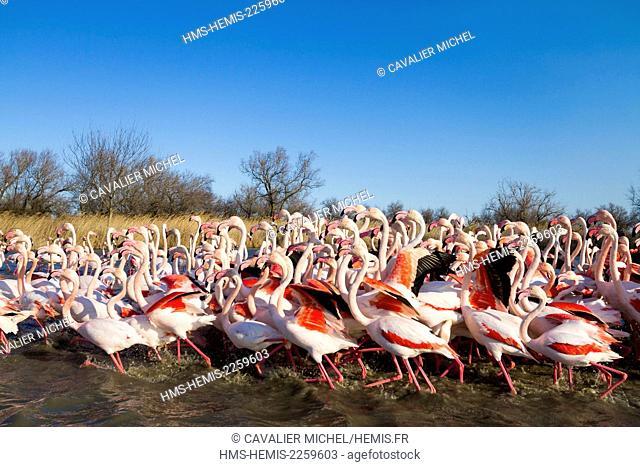 France, Bouches du Rhone, Camargue Regional Nature Park, Saintes Maries de la Mer, Ornithological Park of Pont de Gau, group of Greater flamingos...