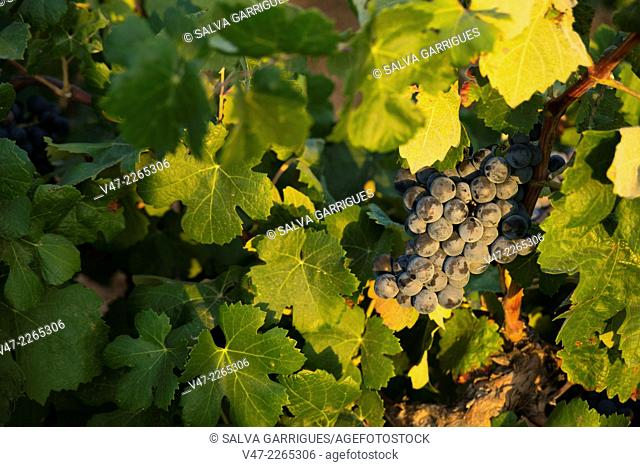 Bunch of grapes about to be harvested to become wine, Requena, Valencia, Valencia, Spain, Europe